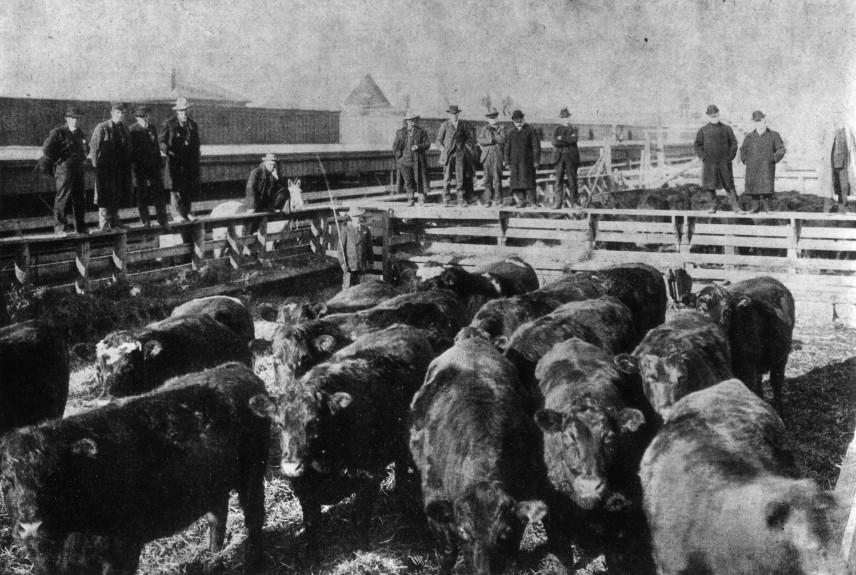 Historical photo of men surrounding a pen of cows